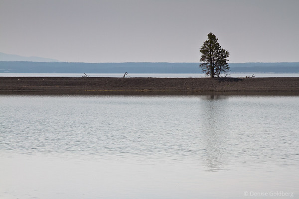 tree on the edge of Yellowstone Lake, Yellowstone National Park