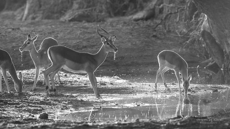 Impala, b&w, Mashatu GR, Botswana, May 2017-2.jpg
