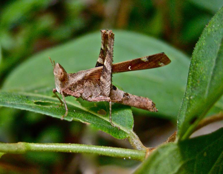 Forest grasshopper