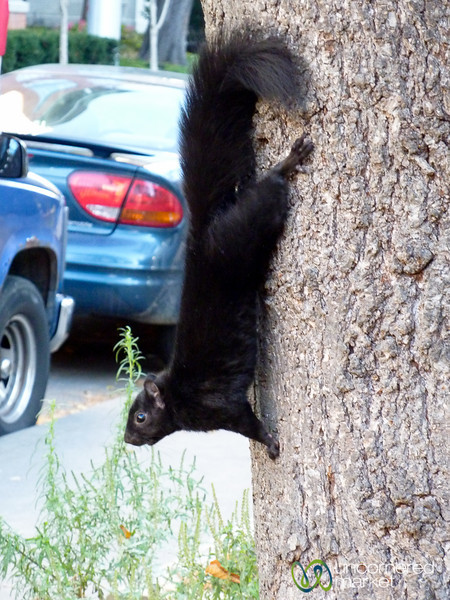 Black Squirrel of Toronto, Canada