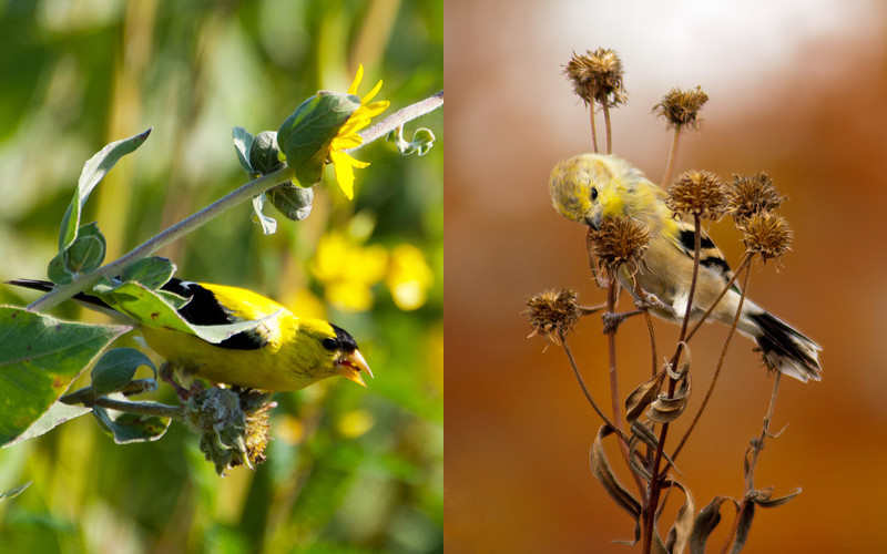 American Goldfinch - seasonal change highlighted in photos taken two months apart.