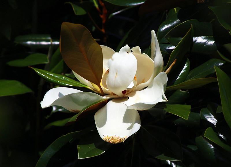 A Magnolia blossom.