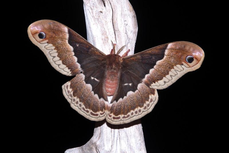 Promethea Moth - (Callosamia promethea) - Dunning Lake - Itasca County, MN