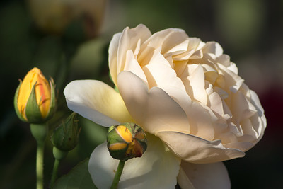 Isesaki Rose Garden