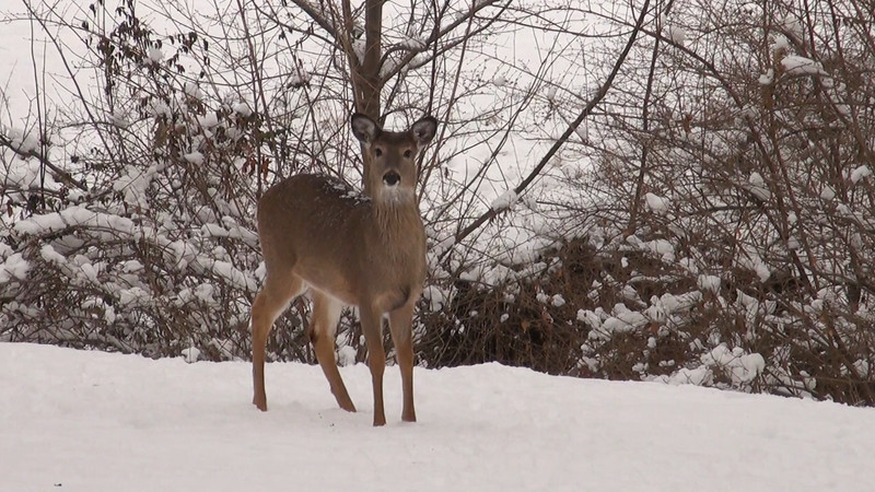 whitetail_snow_004.mov