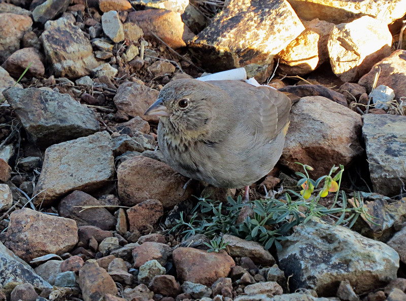 Canyon Towhee morning in rocks.jpg