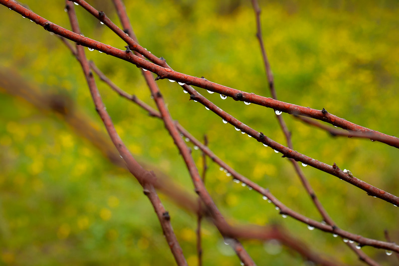 Wet Branches, Saratoga, California, 2010