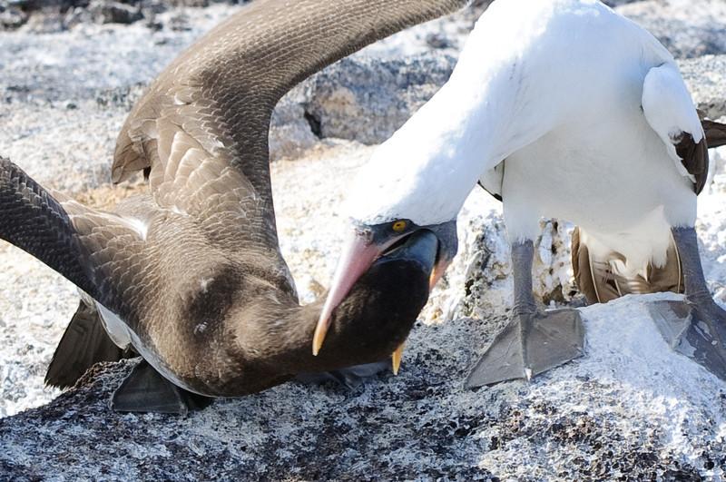 Nazca Booby feeding baby
