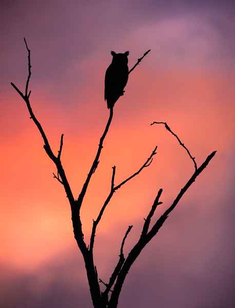 Owl in a tree during sunset