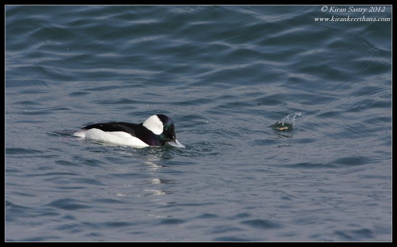 Bufflehead Drake, Coronado Ferry Landing, San Diego County, California, February 2012