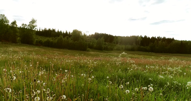 Aerial: flying low over a blooming meadow with dandelion seed heads