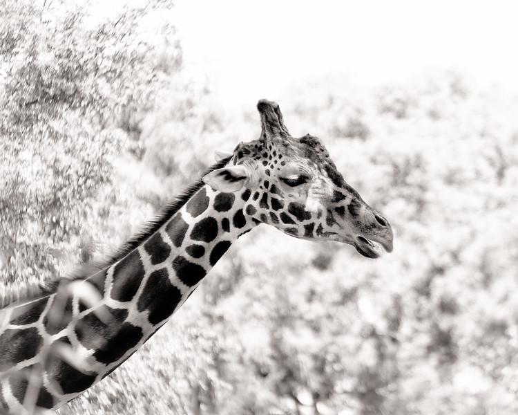 Detroit Zoo Giraffe 02 Large.jpg
