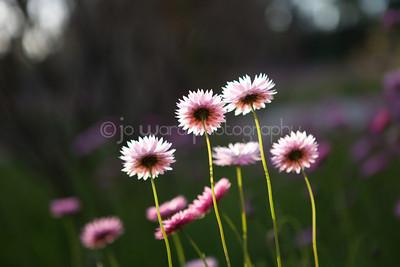 Wildflowers of Western Australia