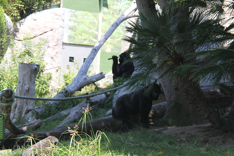 20170807-146 - San Diego Zoo - Gorilla.JPG