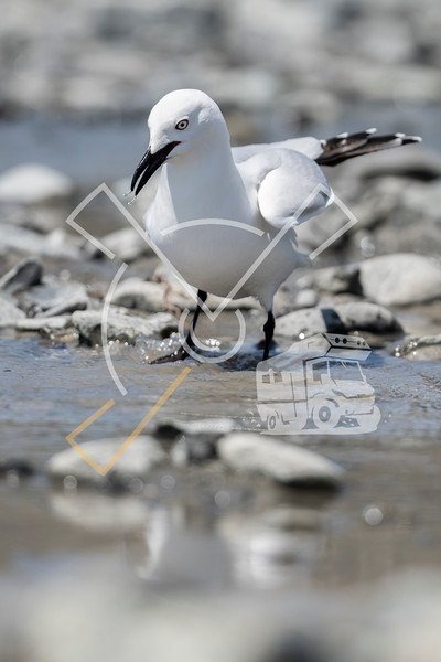 The black-billed gull (Chroicocephalus bulleri), Buller's gull, or tarāpuka (Māori) looking for food at the riverbed of the braided Rakaia