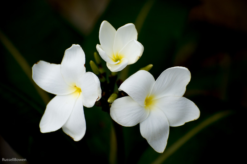 Three White Orchids-1.jpg