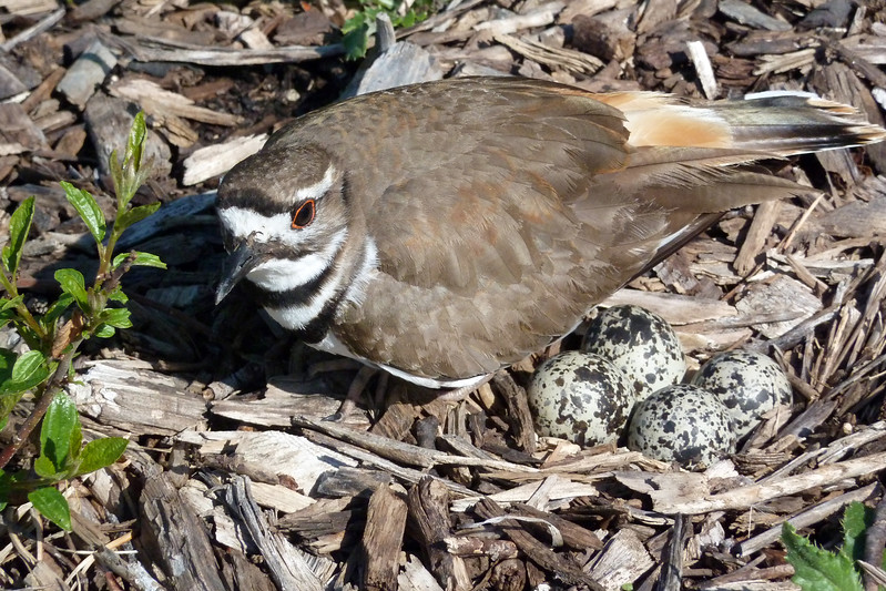 Nesting Killdeer at Cantigny.jpg