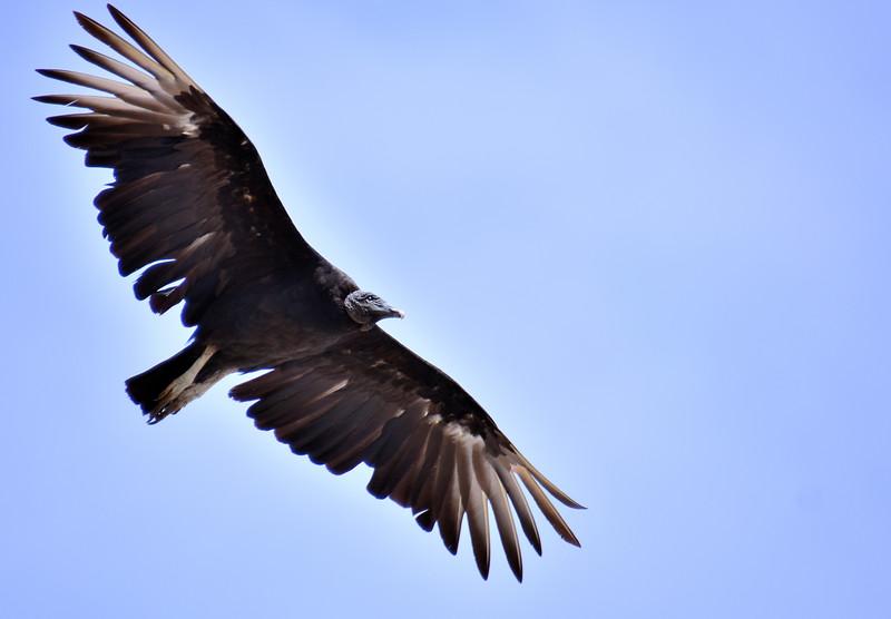 2016 valdivia vulture 4 side face.jpg