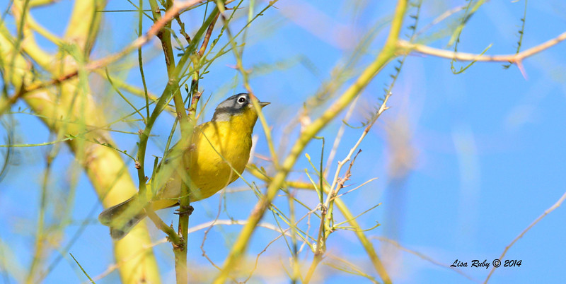 Nashville Warbler - 4/6/2014 - Agua Caliente County Park, San Diego