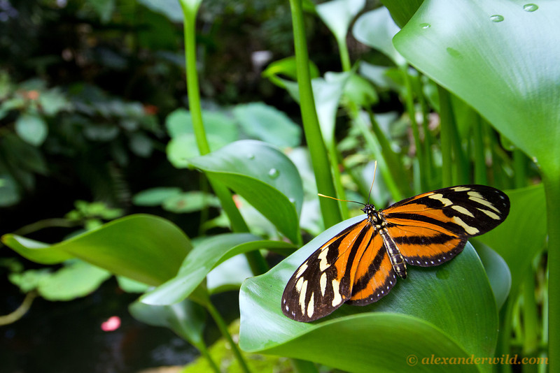 An Isabella's longwing (Heliconiinae: Eueides isabella) poses for a wide-angle photograph at the Green Hills Butterfly Ranch.