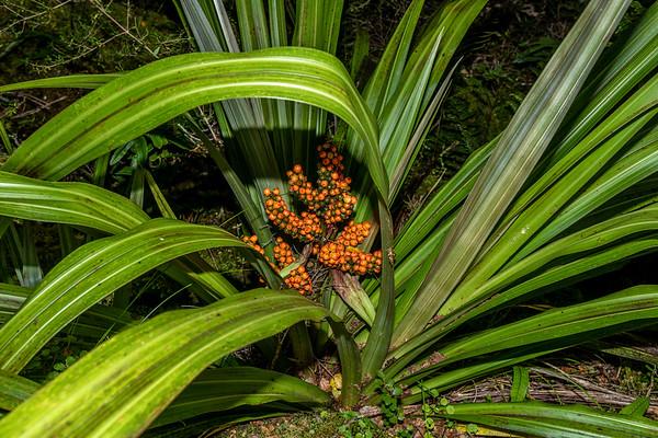 Bush flax - Astelia fragrans
