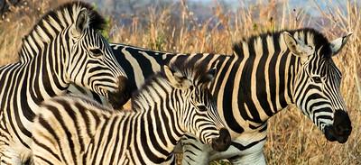 Zebras & Giraffes, South Africa, 2013