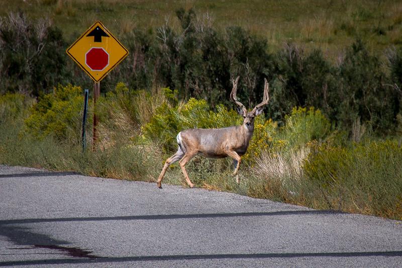 September 1 - Yep_ just another deer in the road shot_ Swall Meadows_ CA.jpg