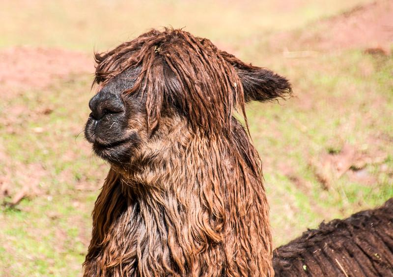 Llamas_Alpacas11.jpg