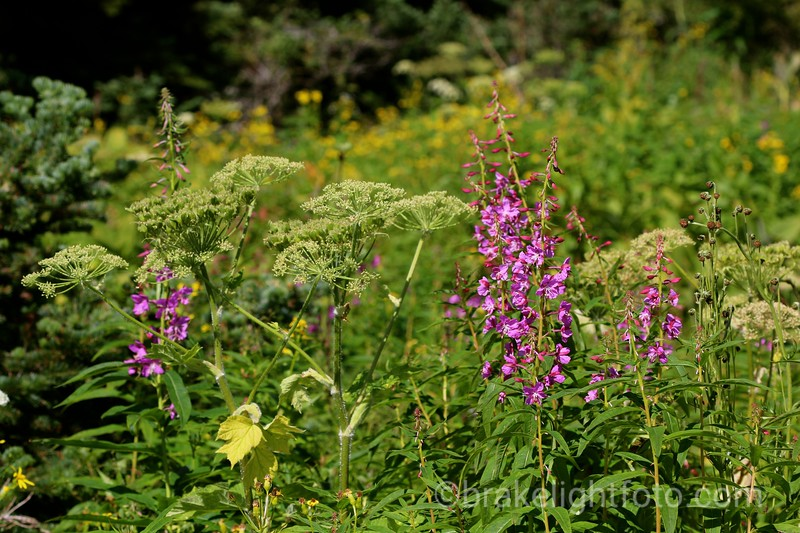 Wild Flowers on Hudson Bay Mountain