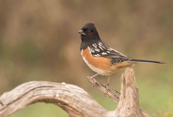 Spotted Towhee LL-1-SAI-stabilize.jpg
