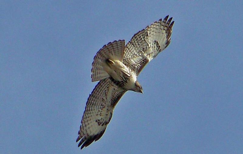 Ferruginous Hawk- Las Gallinas