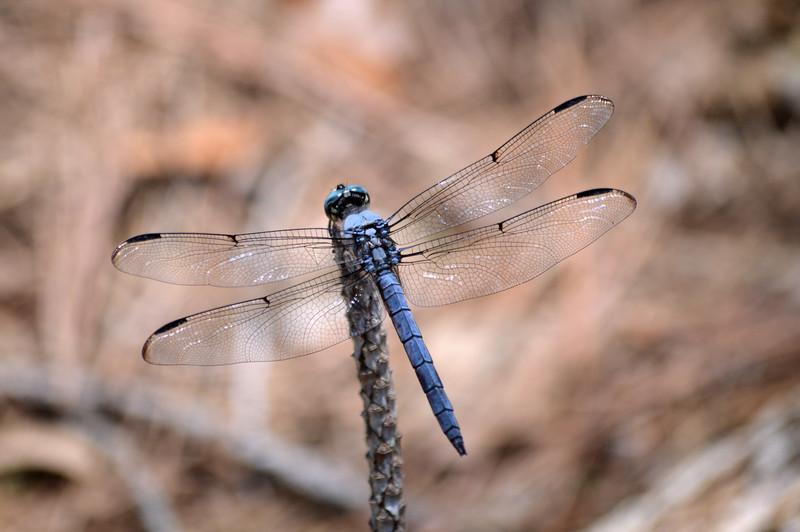 Blue-dragonefly-corolla-NC.jpg
