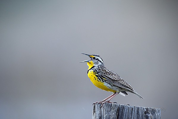 Birds of Yellowstone