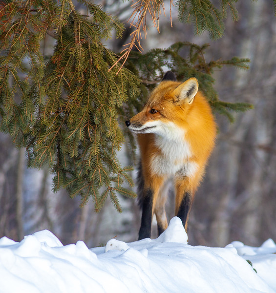 Red Fox hunting off CR29 Racek Road Sax-Zim Bog MN  IMG_0095.jpg