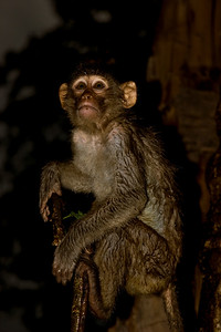 Rhesus Macaque (Macaca mulatta) on a tree in the rain at night