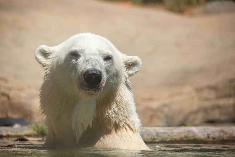 polar bear (29 of 50).jpg