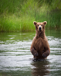 Alaskan Brown bear on hind legs