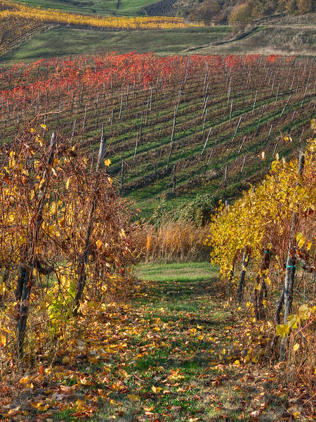 Vineyard - Bettola, Vezzano sul Crostolo, Reggio Emilia, Italy - November 13, 2011