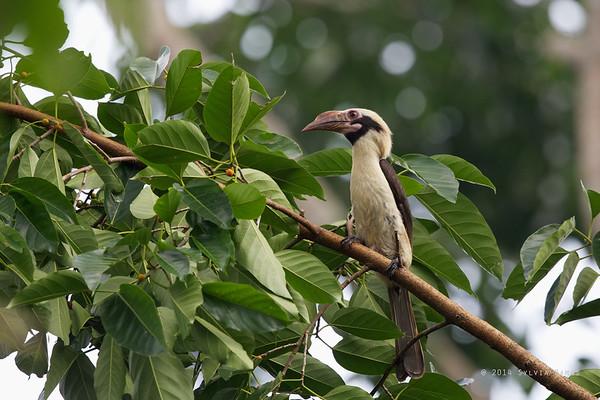 Luzon Hornbill