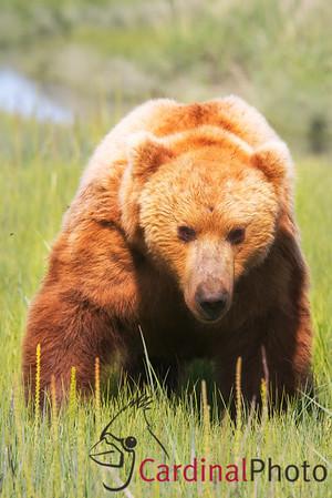 Alaska 2013 Bear & Puffin safari photos