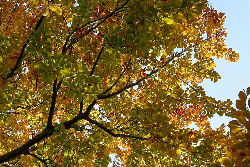Beech Tree (2).jpg