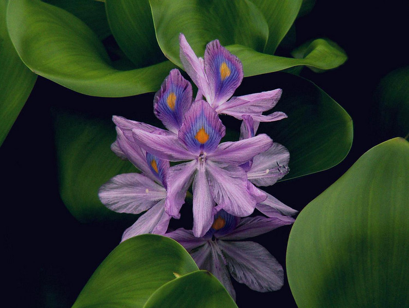 Bluer, Water Hyacinth, small, 9-12-06 FINAL.jpg