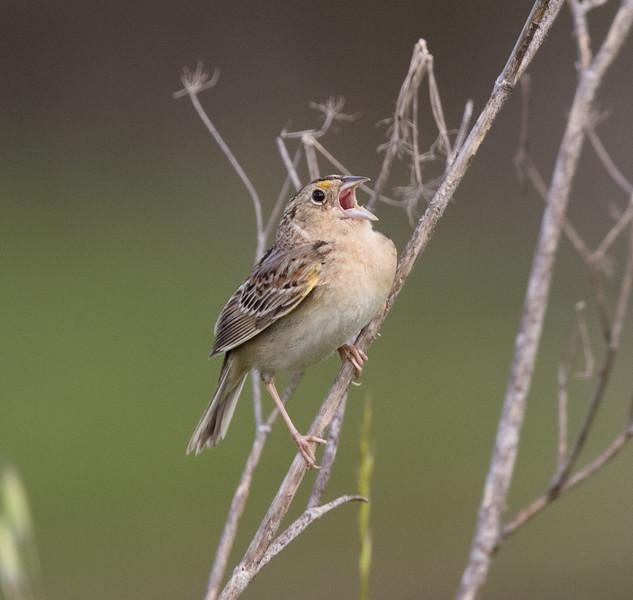 Grasshopper Sparrow Penesquitos Canyon 2019 04 06-3.CR2
