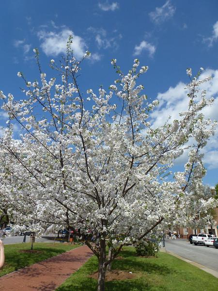 2012-03-24 Cherry Blossom Festival, Macon, Ga