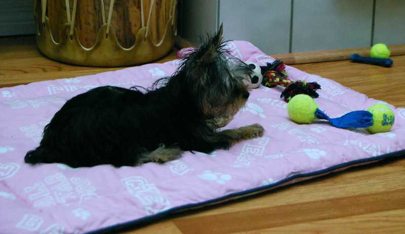 028 Yorkshire Terrier at 18 weeks.jpg