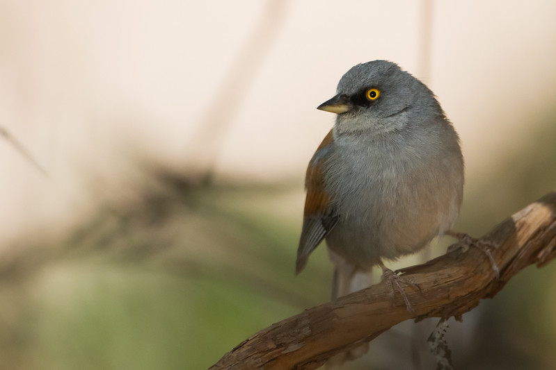 Yellow-eyed Junco - Near Sierra Vista, AZ, USA