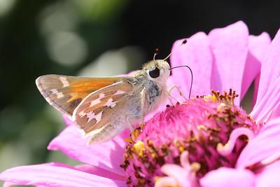 Butterflies, Moths, Skippers (Lepidoptera)