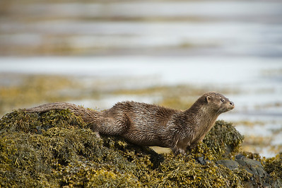 Otters wild in Scotland