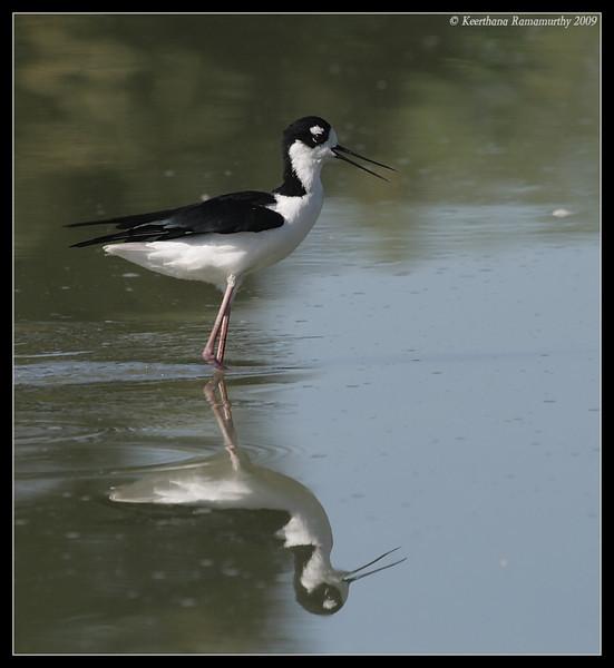 Black-necked Stilt, Lindo Lake, San Diego County, California, September 2009