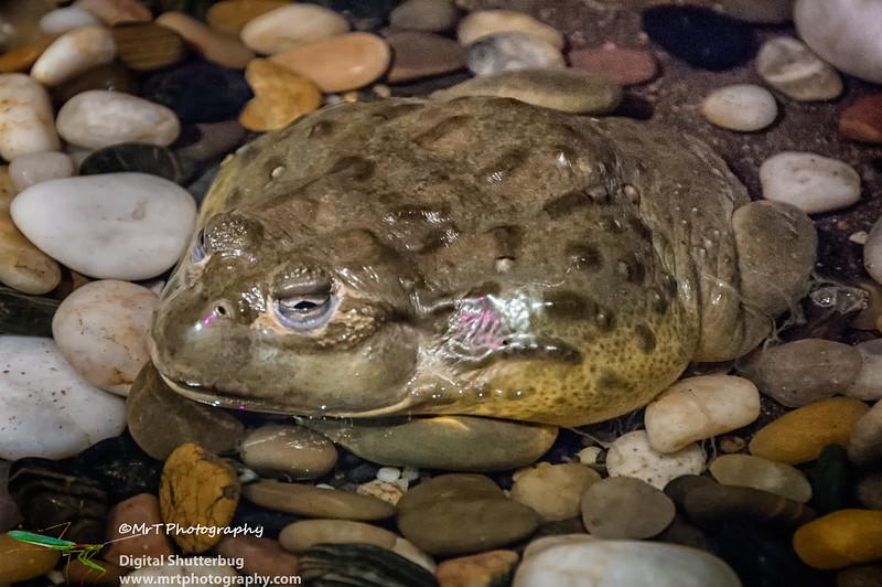 African bullfrog Australian Reptile Park